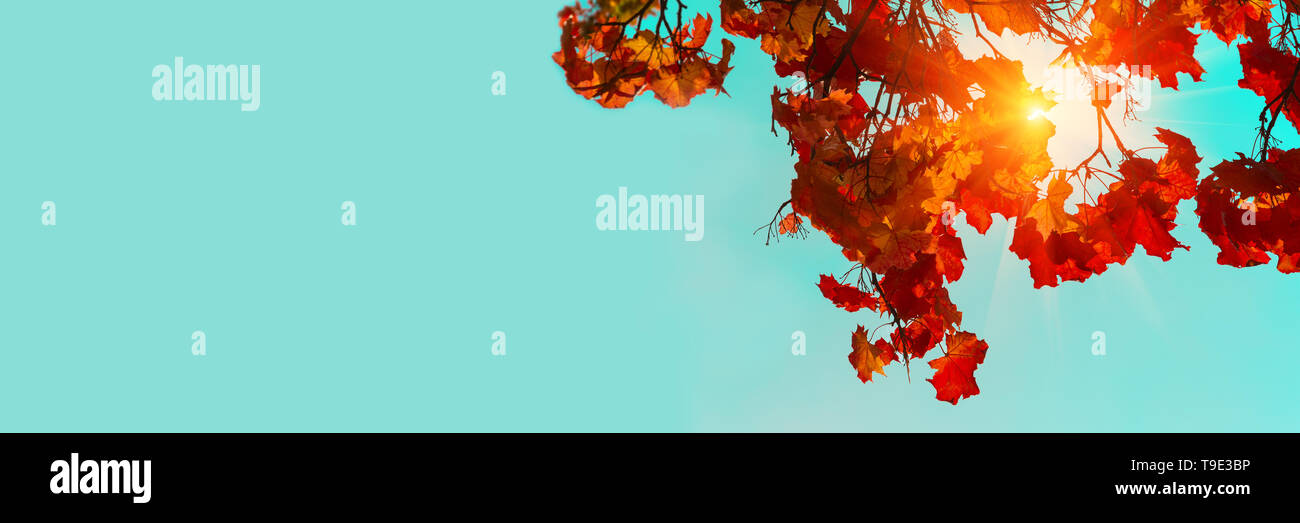 Banner 3:1. Autumn colorful maple leaves. Sky and sunlight through the autumn tree branches from below. Foliage background. Copy space - Stock Image