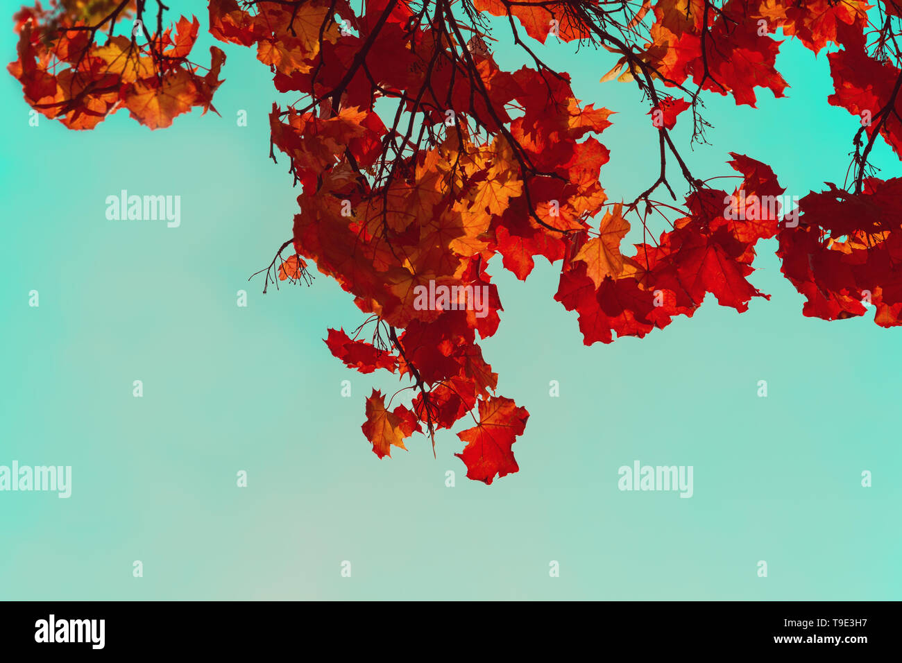 Autumn colorful maple leaves. Sky through the autumn tree branches from below. Foliage background. Copy space - Stock Image