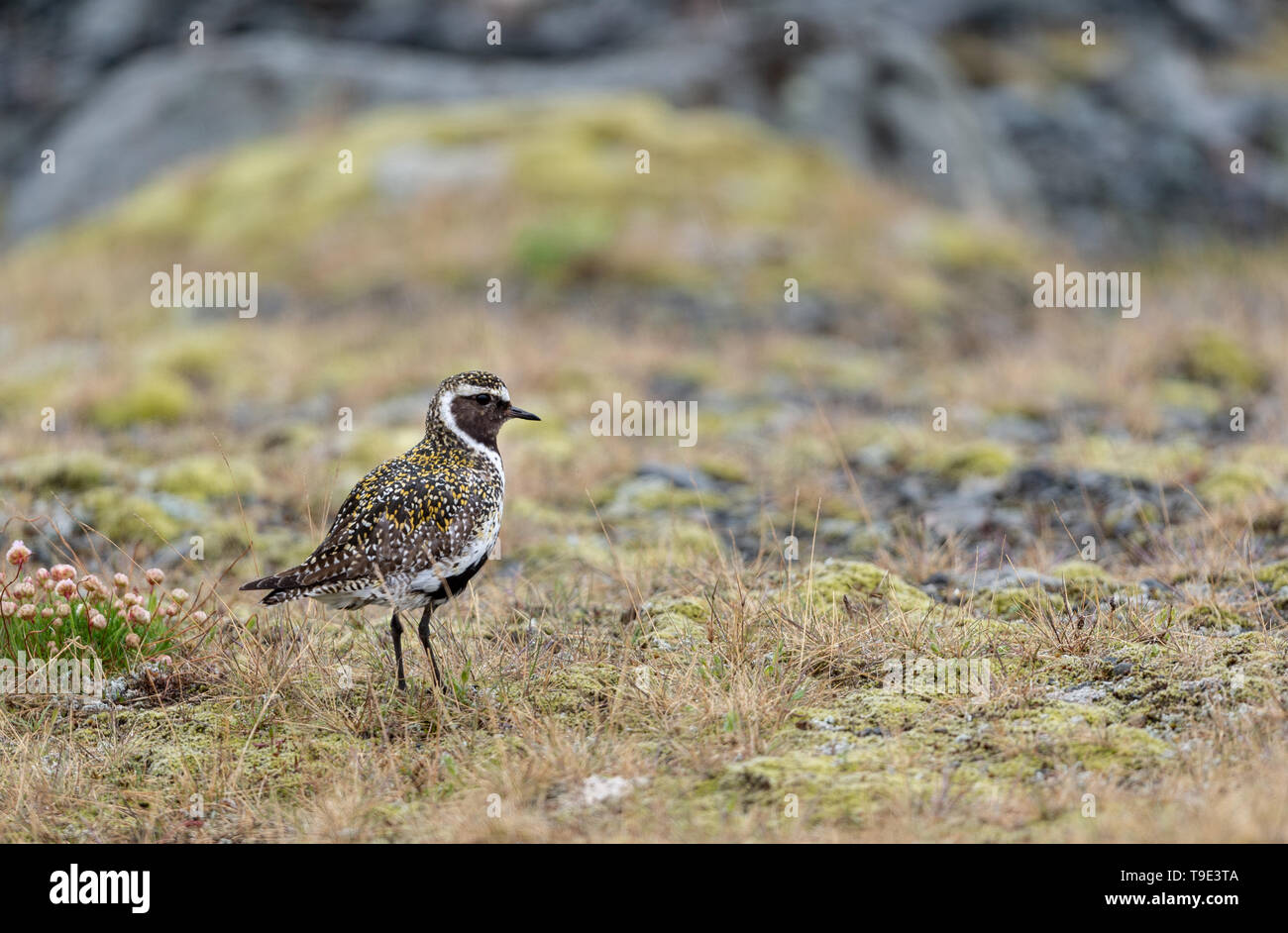 The European golden plover (Pluvialis apricaria), also known as the Eurasian golden plover or just the golden plover within Europe, is a largish plove - Stock Image