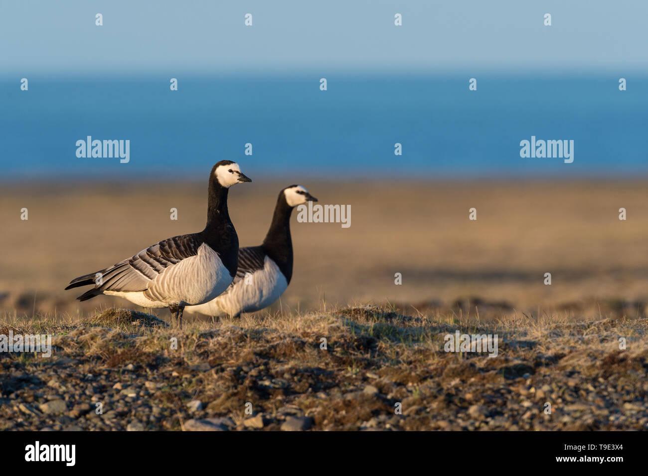 Barnacle geese in beautiful light in Icelandic summer landscape. The barnacle goose (Branta leucopsis) belongs to the genus Branta of black geese, whi - Stock Image