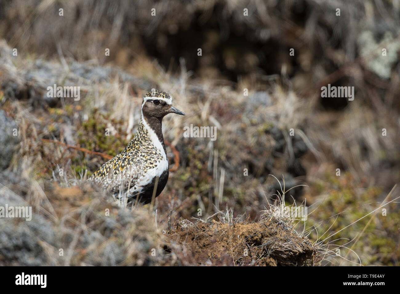 Golden Plover, despite his remarkable breeding plumage still well camouflaged in the Icelandic graslands. The European golden plover (Pluvialis aprica - Stock Image