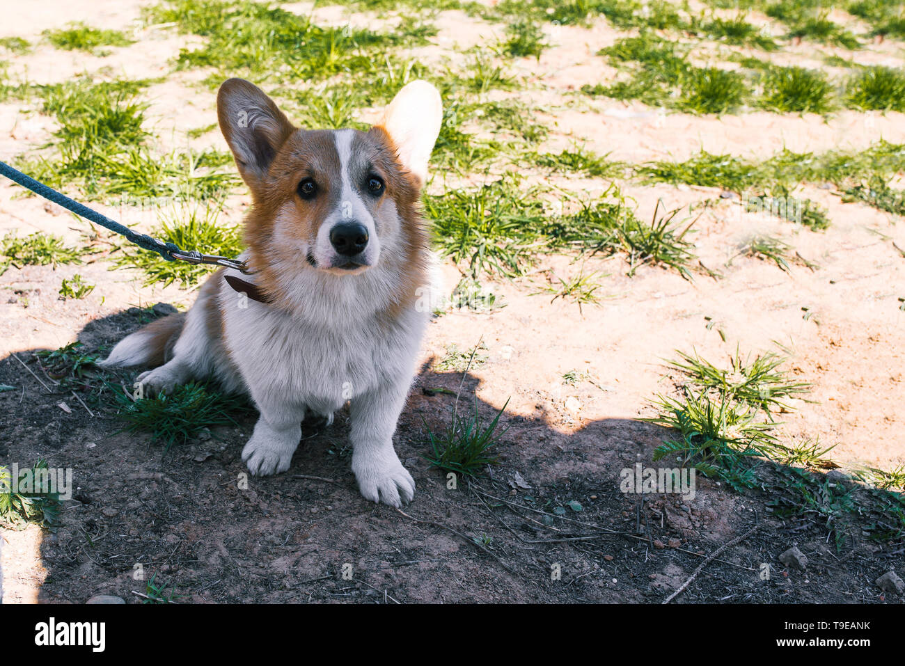 Photo of a dog corgi on the street. Portrait of a small dog. Welsh Corgi sits on the grass and looks into the camera - Stock Image