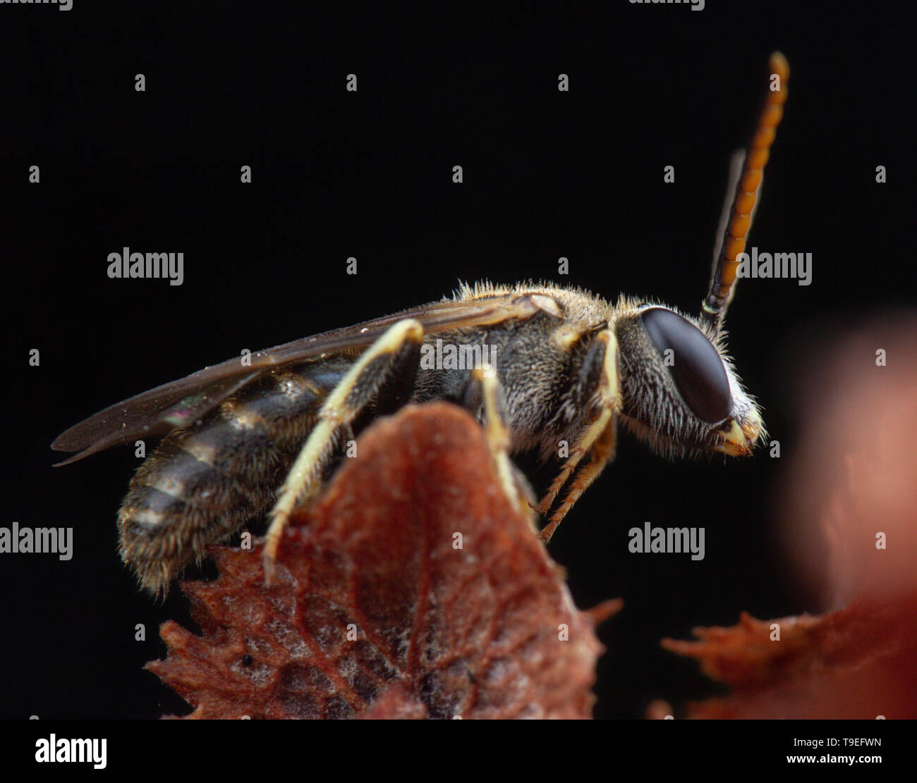 Very little halyctidae bee fly posing on brown flower - Stock Image