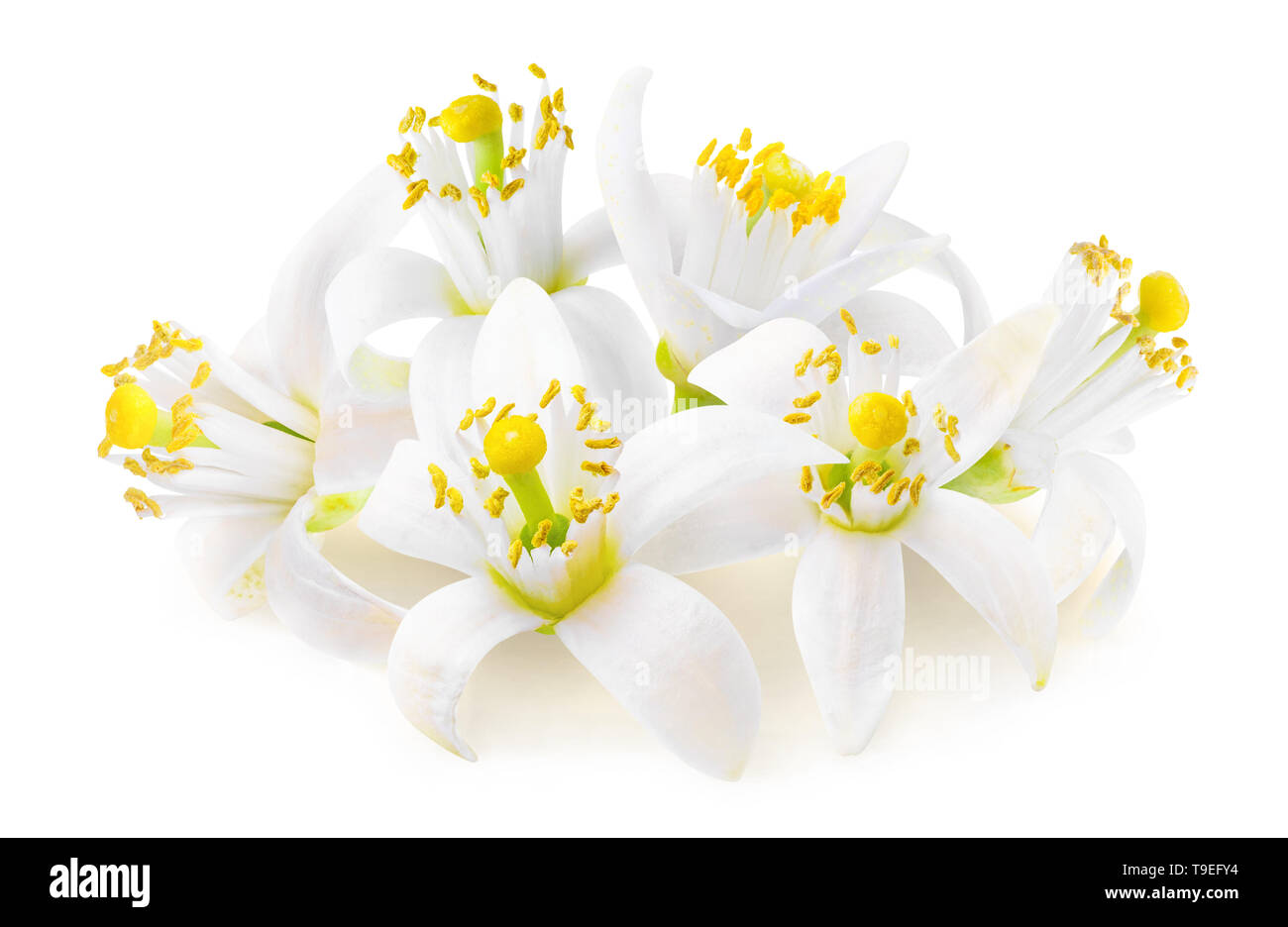 Isolated citrus tree flowers. Fleur d'oranger (orange blossoms) isolated on white background in a pile with clipping path Stock Photo