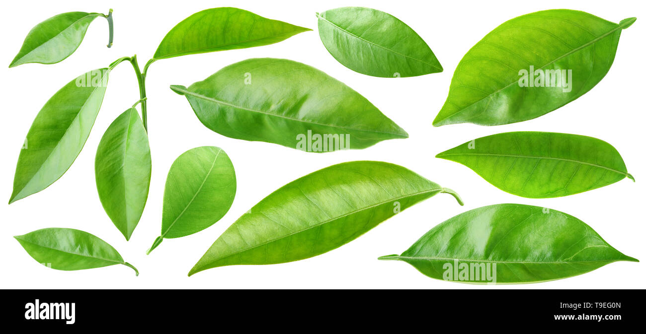 Isolated leaves. Collection of orange tree leaves and branches isolated on white background with clipping path - Stock Image