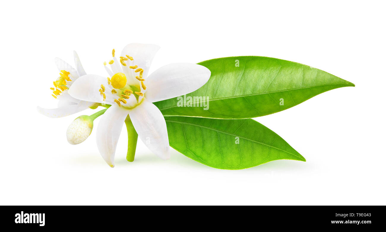 Isolated orange flowers. Blossoming branch of orange tree isolated on white background with clipping path Stock Photo