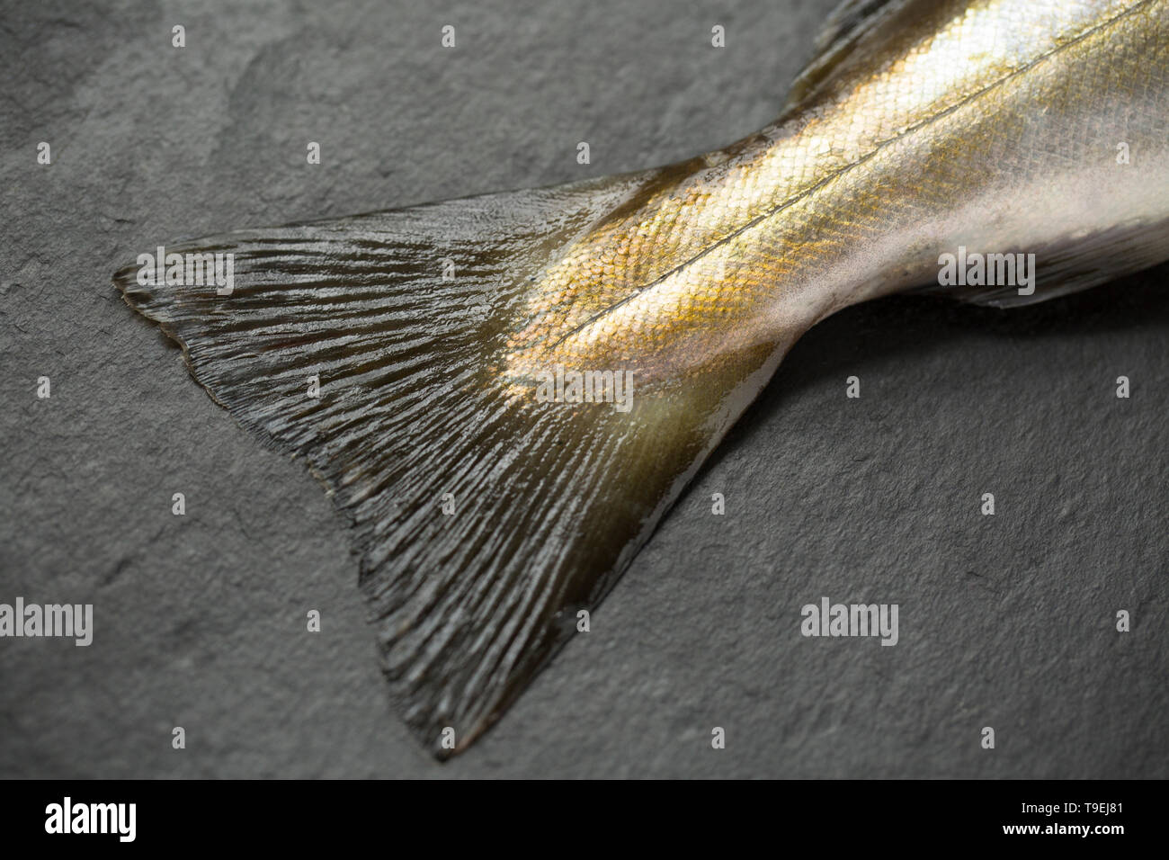The tail fin, or caudal fin and scale pattern, of a raw, uncooked Pollack, Pollachius pollachius, that was caught on rod and line boat fishing in th E - Stock Image