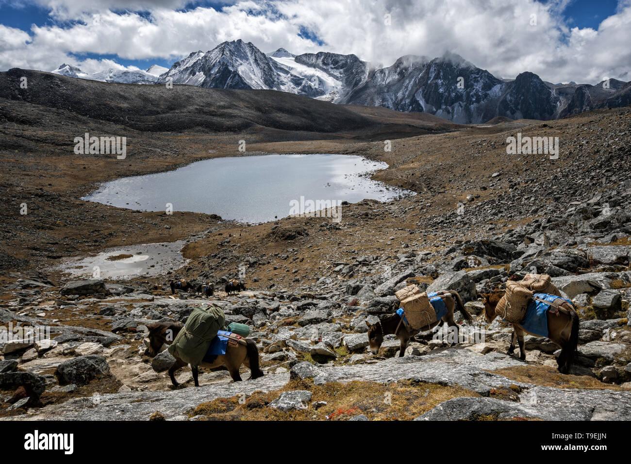 Pack animals crossing Loju La pass, Lunana Gewog, Gasa District, Snowman Trek, Bhutan Stock Photo
