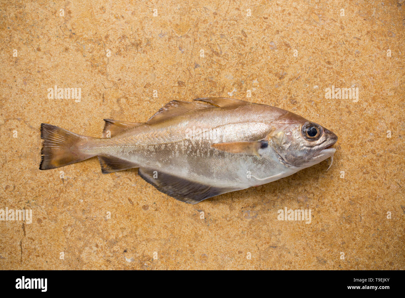 A raw, uncooked pouting, Trisopterus luscus,that was caught on rod and line fishing from a boat in the English Channel. Pouting are not generally eate - Stock Image