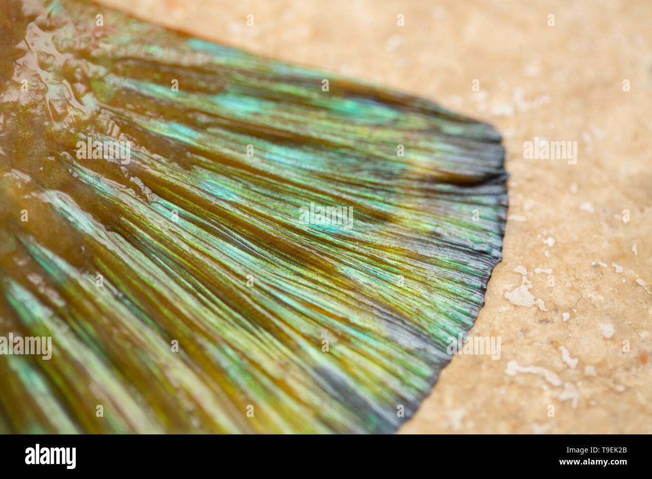 The colourful tail fin, or caudal fin,  of a raw, uncooked ballan wrasse, Labrus bergylta, that was caught on rod and line while boat fishing in the E - Stock Image