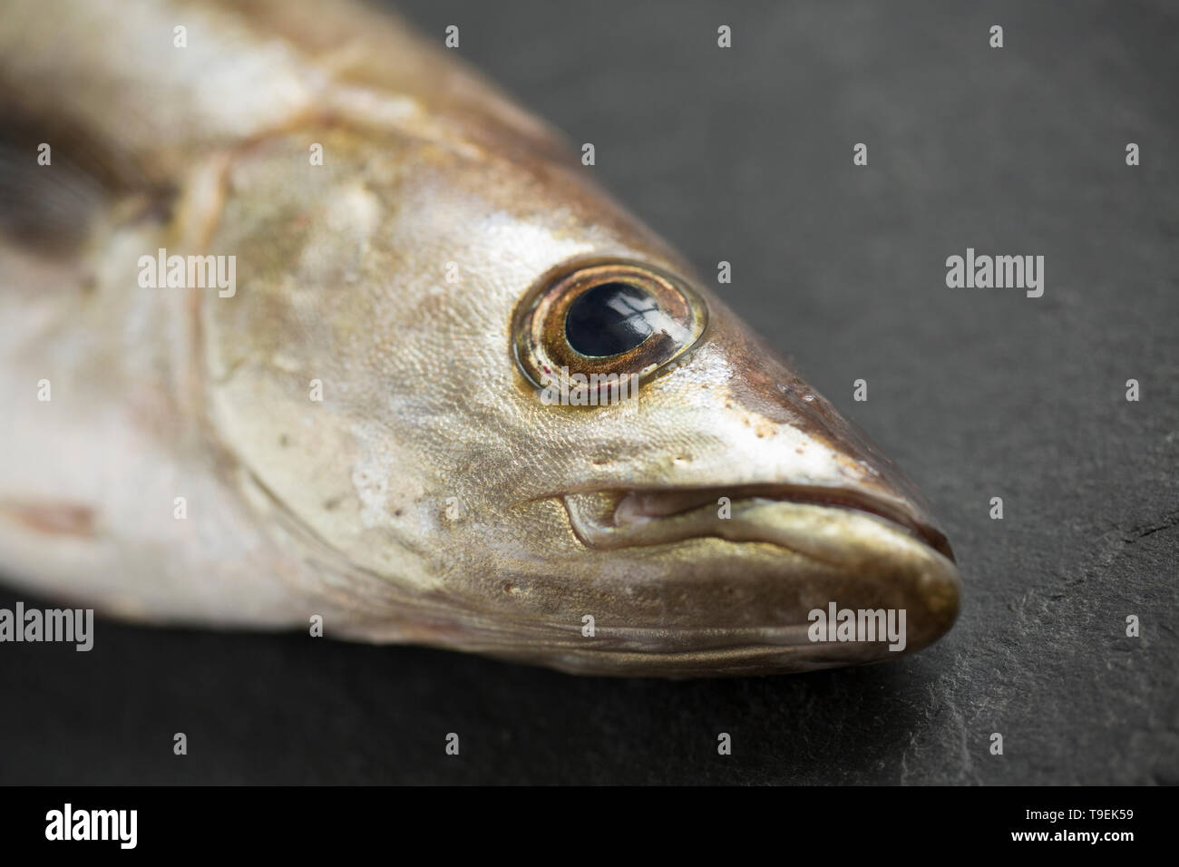 A raw, uncooked Pollack, Pollachius pollachius, that was caught on rod and line boat fishing in th English Channel. Pollack are a common UK seafish an - Stock Image