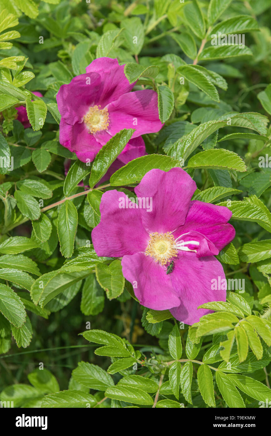 Metallic green beetle on pink Rosa rugosa / Japanese Rose flower - thought to be male Oedemera nobilis / swollen-thighed beetle. Seaside plants. - Stock Image