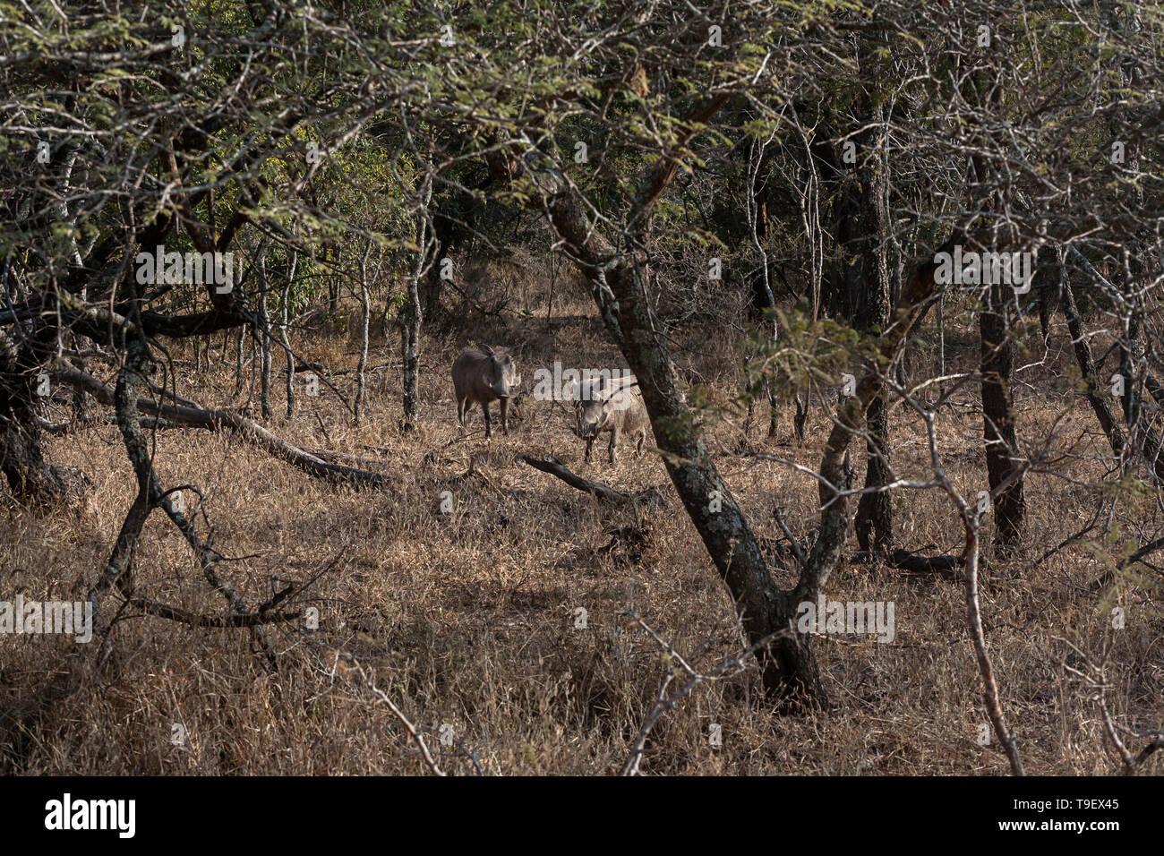 Warthog sightings in bushveld on safari in Africa - Stock Image