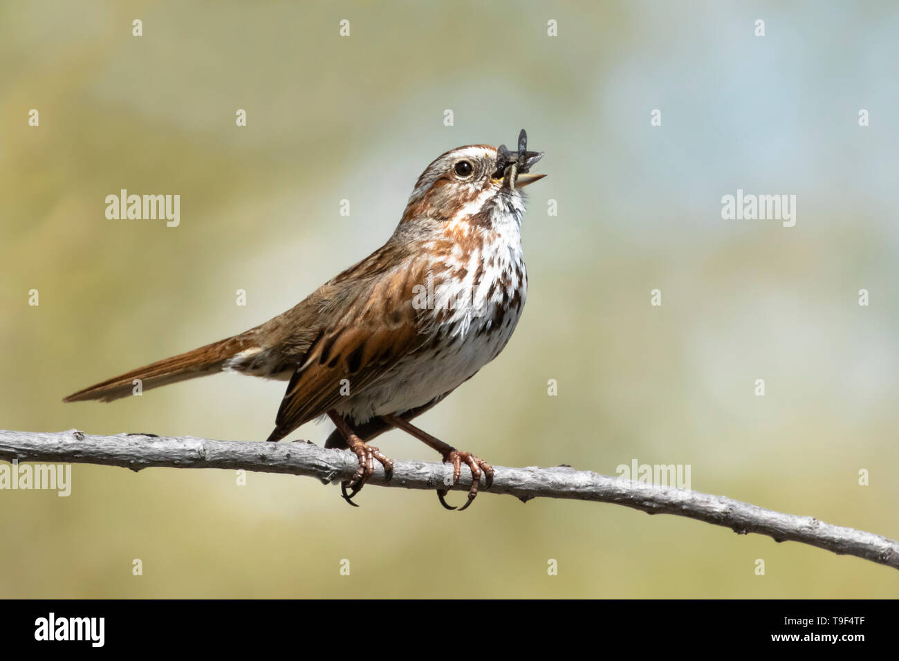 Song sparrow, Melospiza melodia, singing at Lee Lake