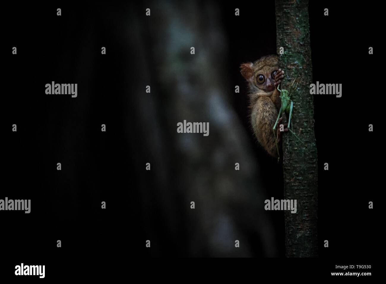 Spectral Tarsier, Tarsius, portrait of rare endemic nocturnal mammal trying to catch and eat grasshopper, cute primate in large ficus tree in jungle,  - Stock Image