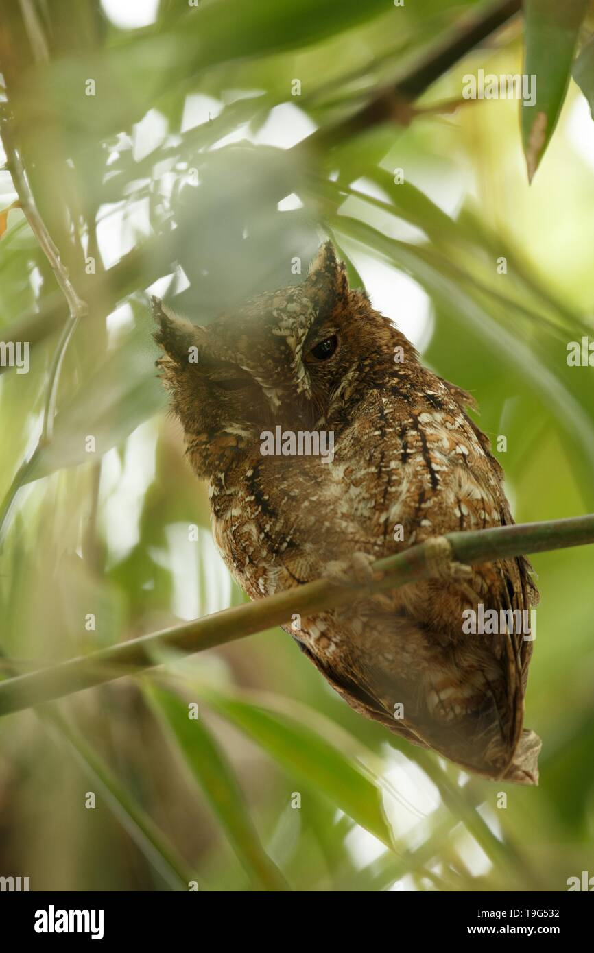 Sulawesi Scops Owl sitting on the branch in bamboo canopy, Tangkoko Reserve, Sulawesi, Indonesia,  exotic birding experience in Asia,wildlife scene - Stock Image