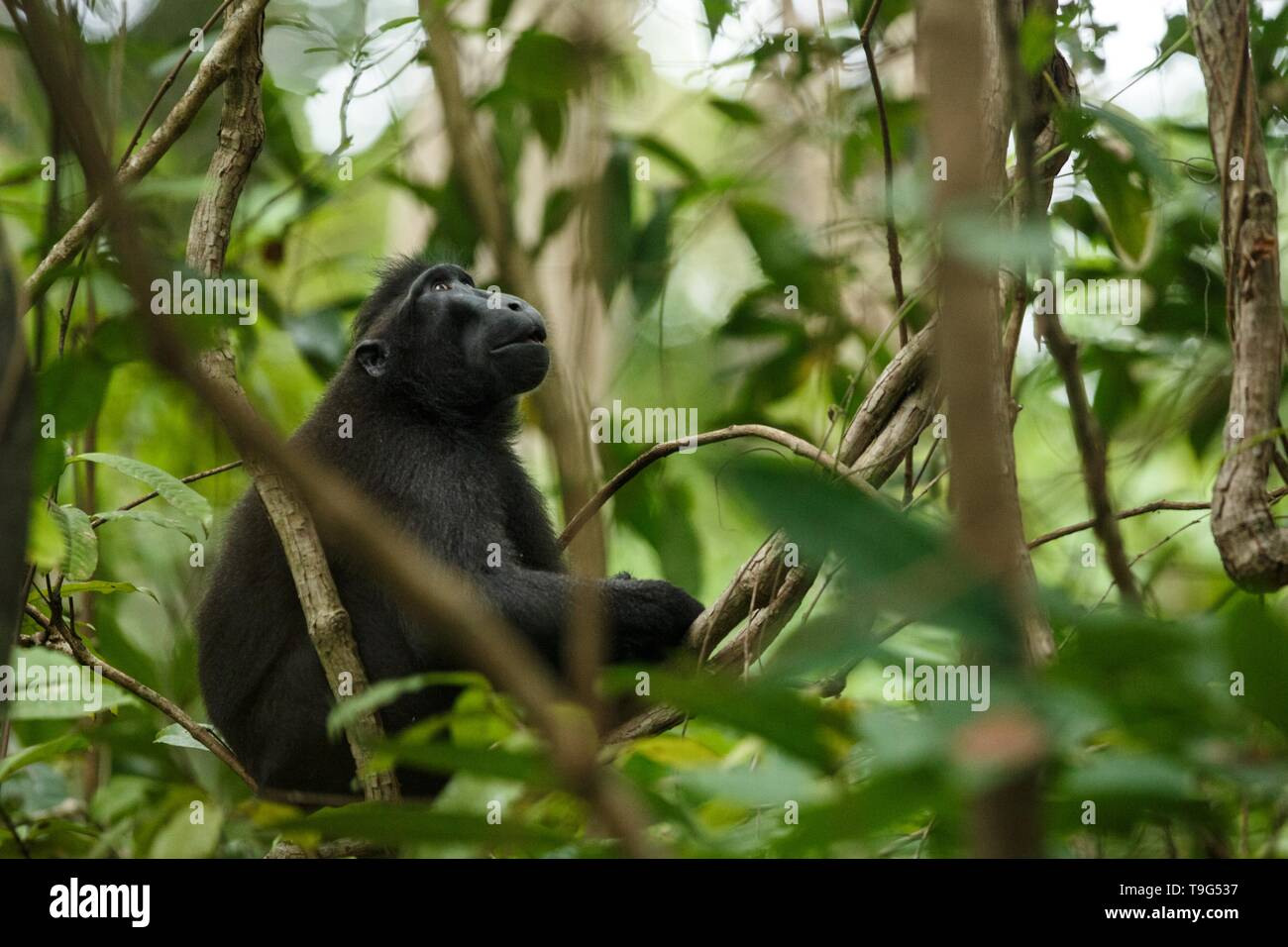 Celebes crested macaque on the branch of the tree. Close up portrait. Endemic black crested macaque or the black ape. Natural habitat. Unique mammals  - Stock Image