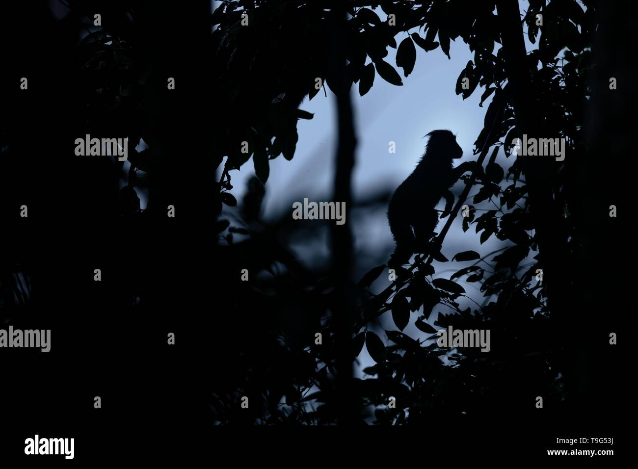 Silhouette of crested macaque standing on the branch of the tree. Close up portrait. Endemic black crested macaque. Natural habitat. Unique mammals in - Stock Image