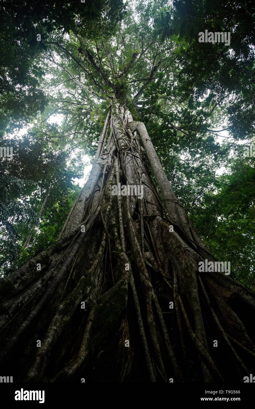 Giant ficus tree in Tangkoko National Park. North Sulawesi. Indonesia, lush and dense primary rain forest, view into jungle canopy - Stock Image