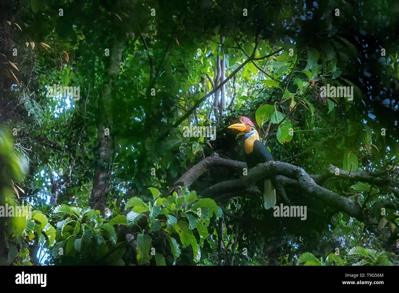 Knobbed hornbill, Aceros cassidix, sitting on branch at a tree top near its nest.Tangkoko National Park, Sulawesi, Indonesia, typical animal behavior, - Stock Image