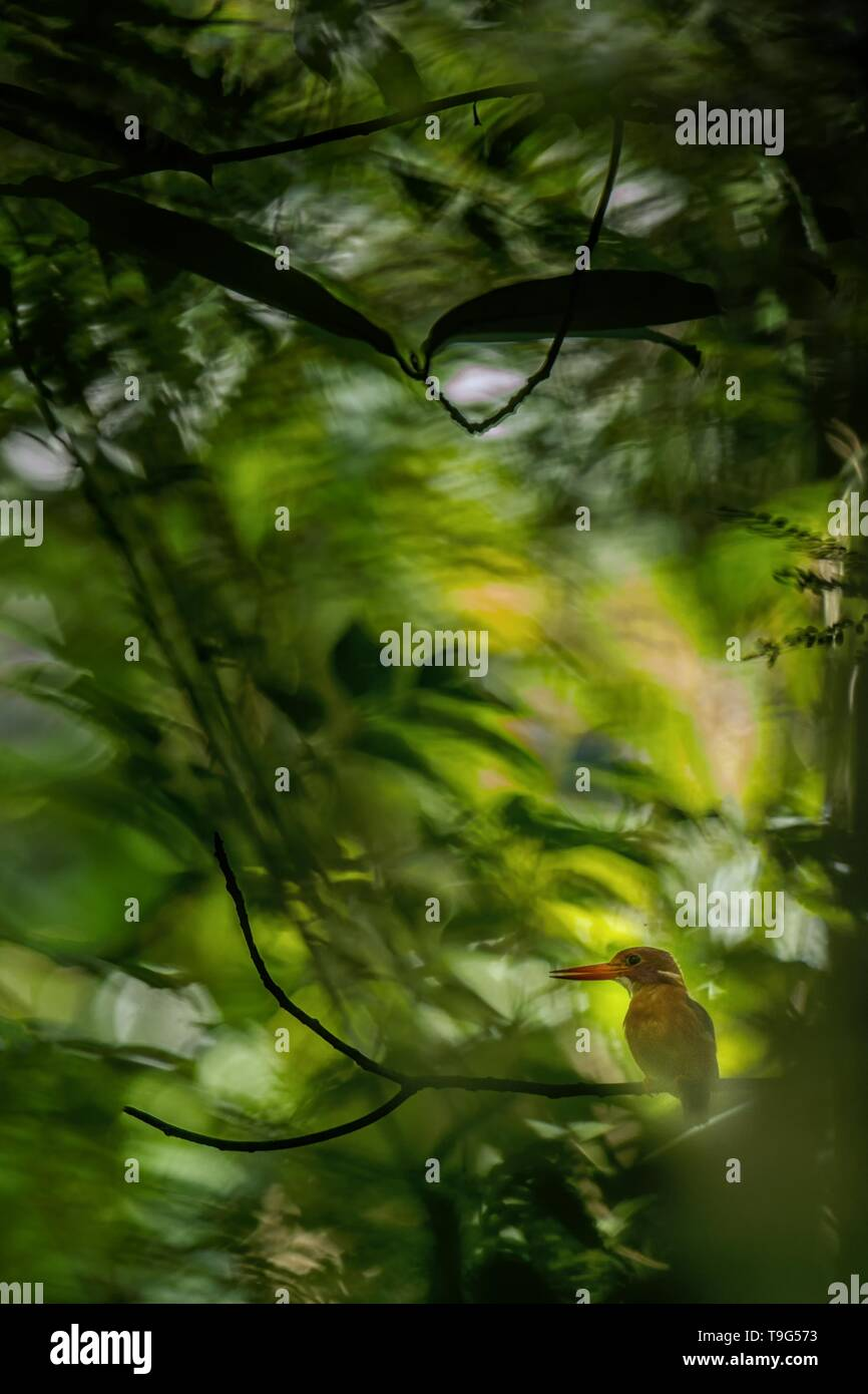 Dwarf sulawesi kingfisher (Ceyx fallax) perches on a branch in indonesian jungle,family Alcedinidae, endemic species to Indonesia, Exotic birding in A - Stock Image