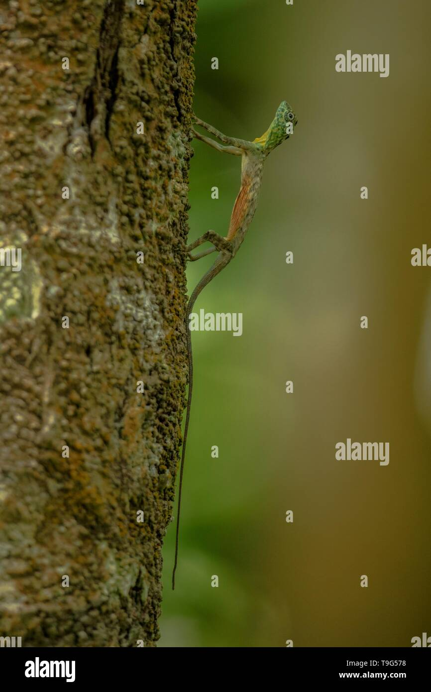 Draco volans, the common flying dragon on the tree in Tangkoko National Park, Sulawesi, is a species of lizard endemic to Southeast Asia. lizard in wi - Stock Image