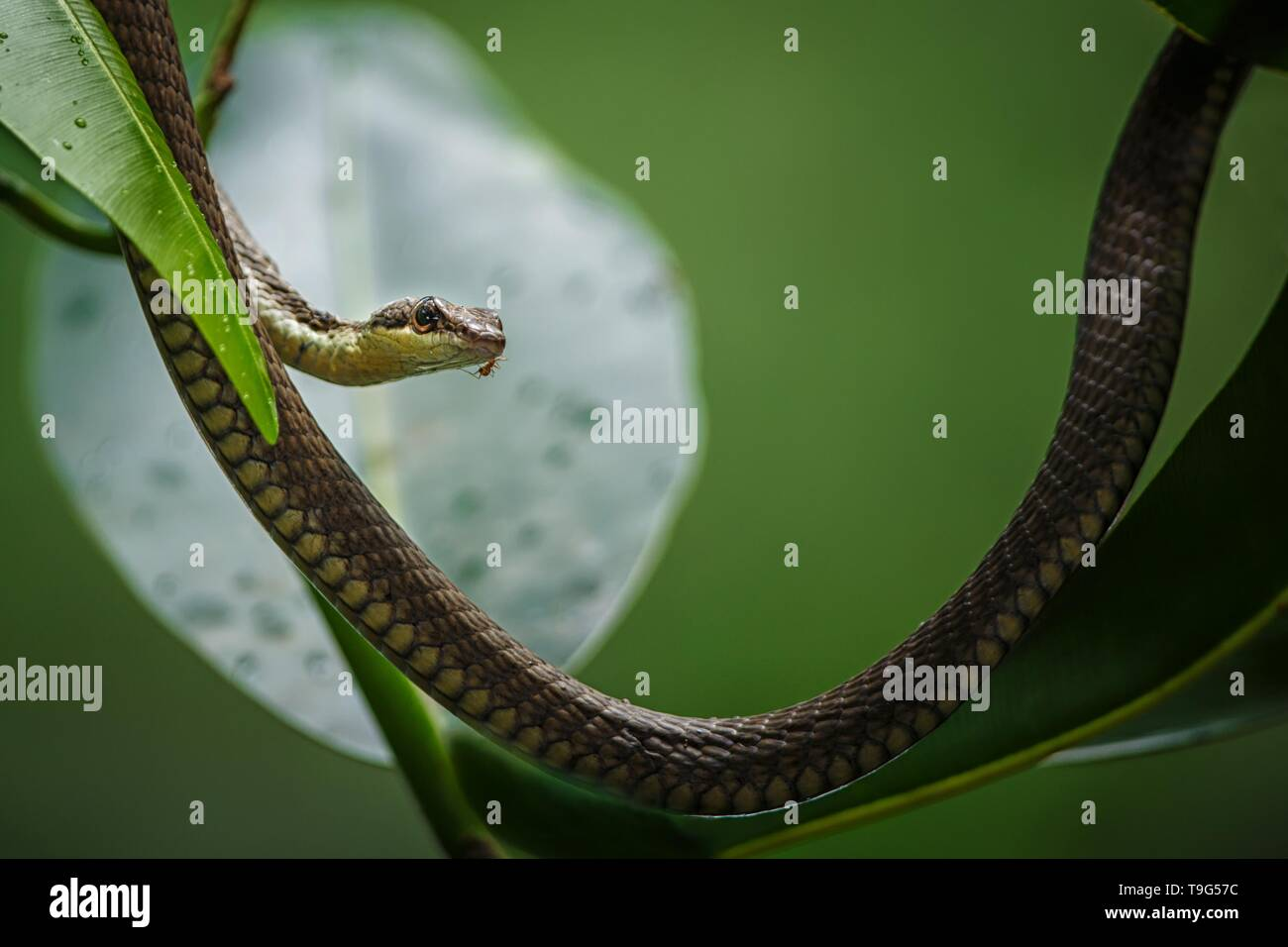 The common snake on the tree in Tangkoko National Park, Sulawesi, , exotic adventure trip in Southeast Asia - Stock Image