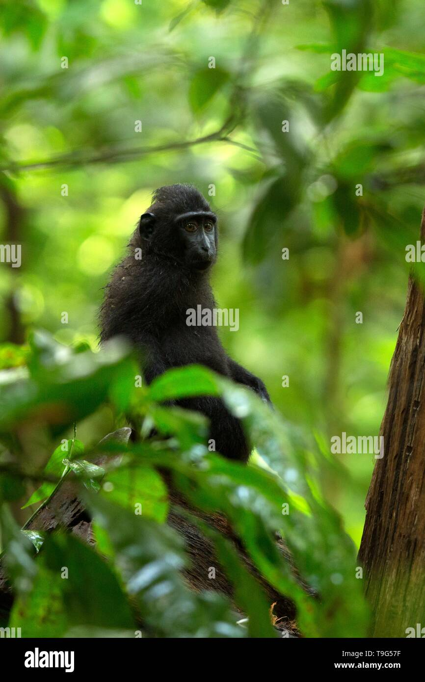Small cute baby macaque on the branch of the tree in rainforest. Close up portrait. Endemic black crested macaque or the black ape. Unique mammals in  - Stock Image