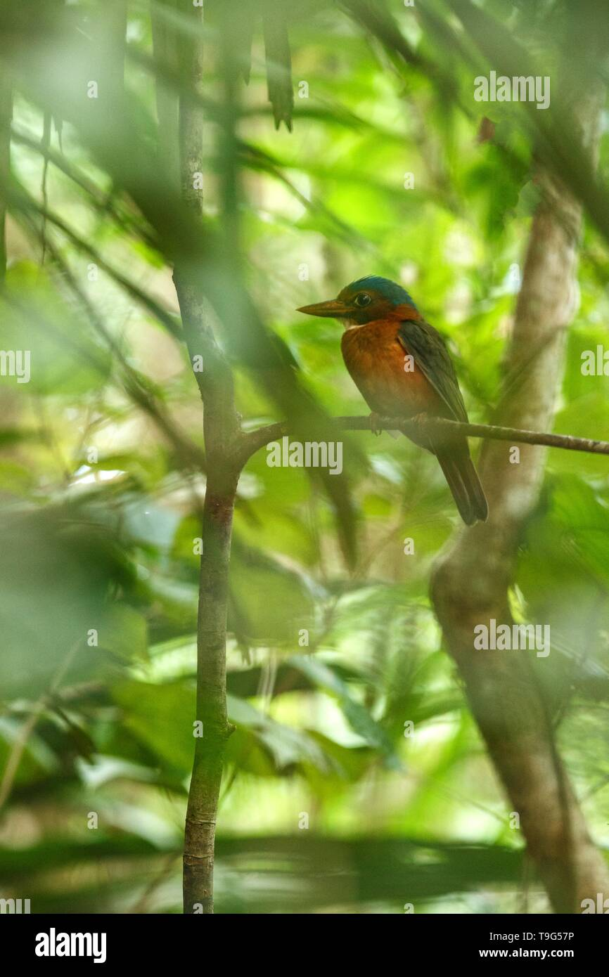 The green-backed kingfisher perches on a branch in indonesian jungle,family Alcedinidae, endemic species to Indonesia, Exotic birding in Asia, Tangkok - Stock Image