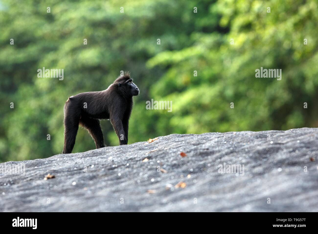 Black macaque standing on black sand on the beach. Close up portrait. Endemic black crested macaque or the black ape. Unique mammals in Tangkoko Natio - Stock Image