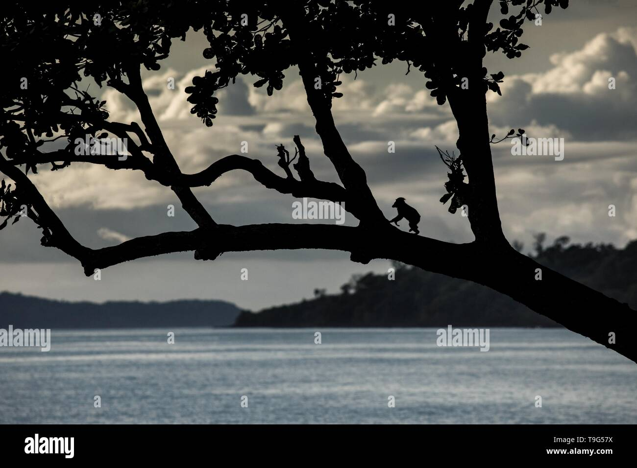 Silhouette of crested macaque walking on the branch of the tree on beach. Endemic black crested macaque. Natural habitat. Unique mammals in Tangkoko N - Stock Image