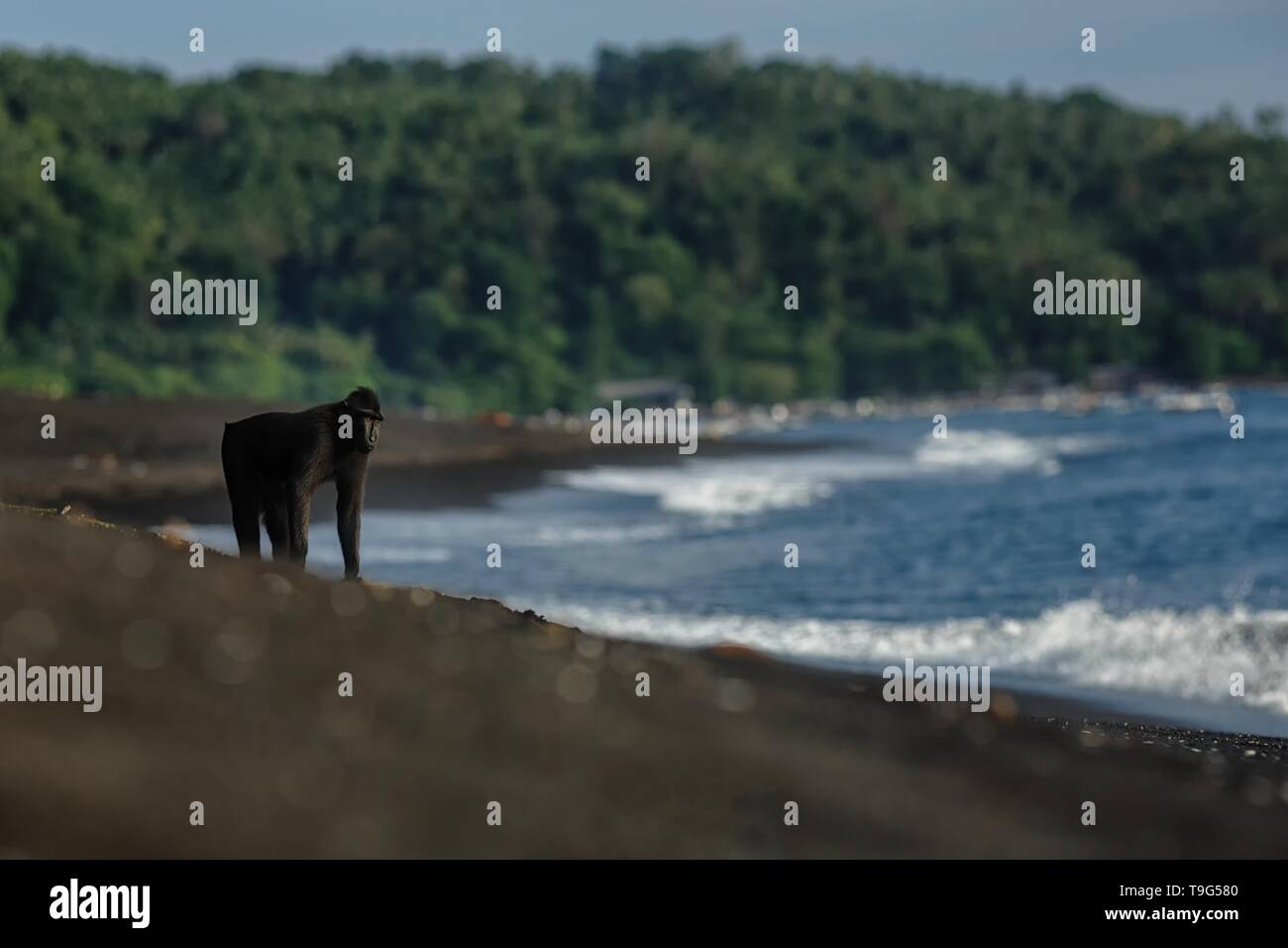 Crested macaque standing on the on beach with blue lagoon and jungle in background. Endemic black crested macaque. Natural habitat. Unique mammals in  - Stock Image
