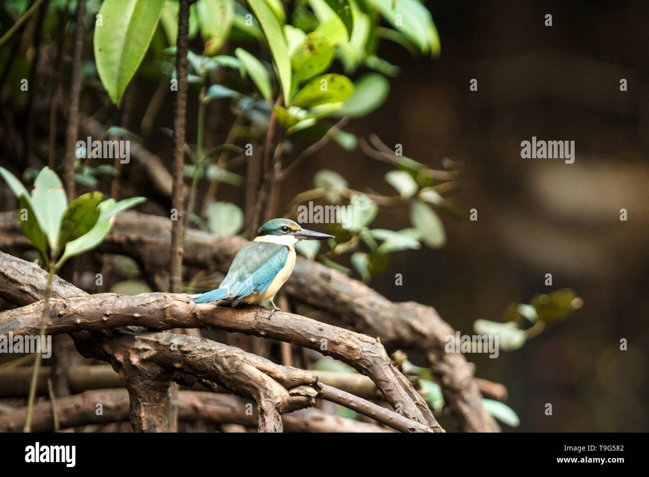 The sacred kingfisher (Todiramphus sanctus) perches on a branch in mangrove bush, family Alcedinidae, endemic species to Indonesia, Exotic birding in  - Stock Image