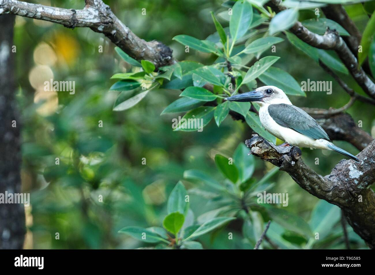 The great-billed kingfisher (Pelargopsis melanorhyncha) perches on a branch in mangrove bush, family Alcedinidae, endemic species to Indonesia, Exotic - Stock Image