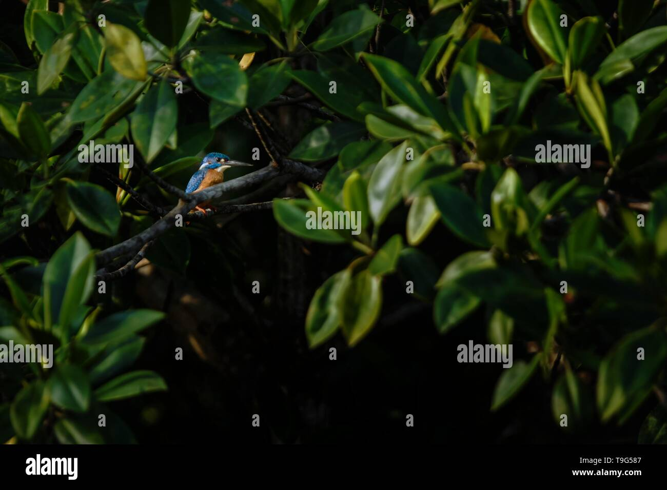 The blue-eared kingfisher (Alcedo meninting) perches on a branch in mangrove bush, family Alcedinidae, endemic species to Indonesia, Exotic birding in - Stock Image