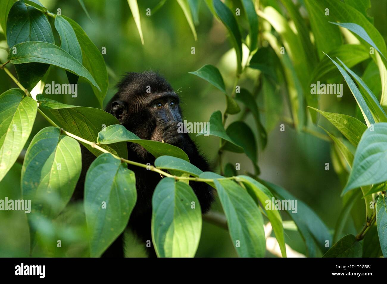 Small cute baby macaque on the branch of the tree eating leaves. Close up portrait. Endemic black crested macaque or the black ape. Unique mammals in  - Stock Image