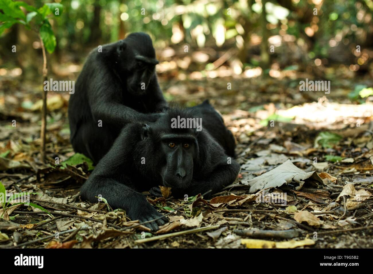Celebes crested macaques grooming themselves, typical behaviour, etology Endemic black crested macaque, Natural habitat. Unique mammals in Tangkoko Na - Stock Image