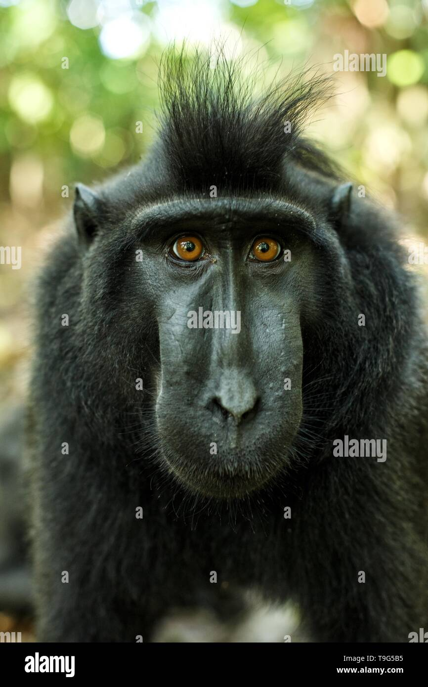 Celebes crested macaque looking into the camera. Close up portrait. Endemic black crested macaque or the black ape. Natural habitat. Unique mammals in - Stock Image