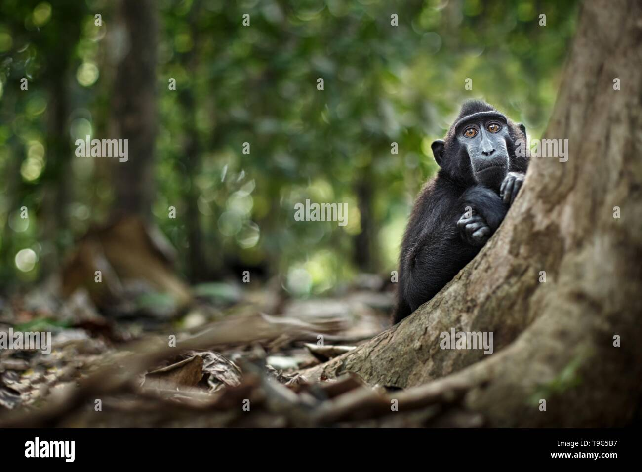 Young crested macaque looking curiously into the camera in jungle. Close up portrait. Endemic black crested macaque. Natural habitat. Unique mammals i - Stock Image