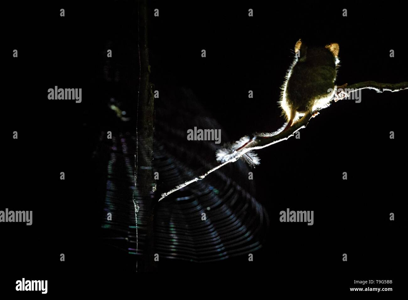 Spectral Tarsier, Tarsius, endemic nocturnal mammal watching spinder in the net, cute primate in large ficus tree in jungle, Tangkoko National Park, S - Stock Image
