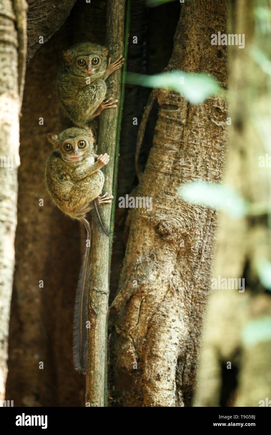 Family of spectral tarsiers, Tarsius spectrum, portrait of rare endemic nocturnal mammals, small cute primate in large ficus tree in jungle, Tangkoko  - Stock Image
