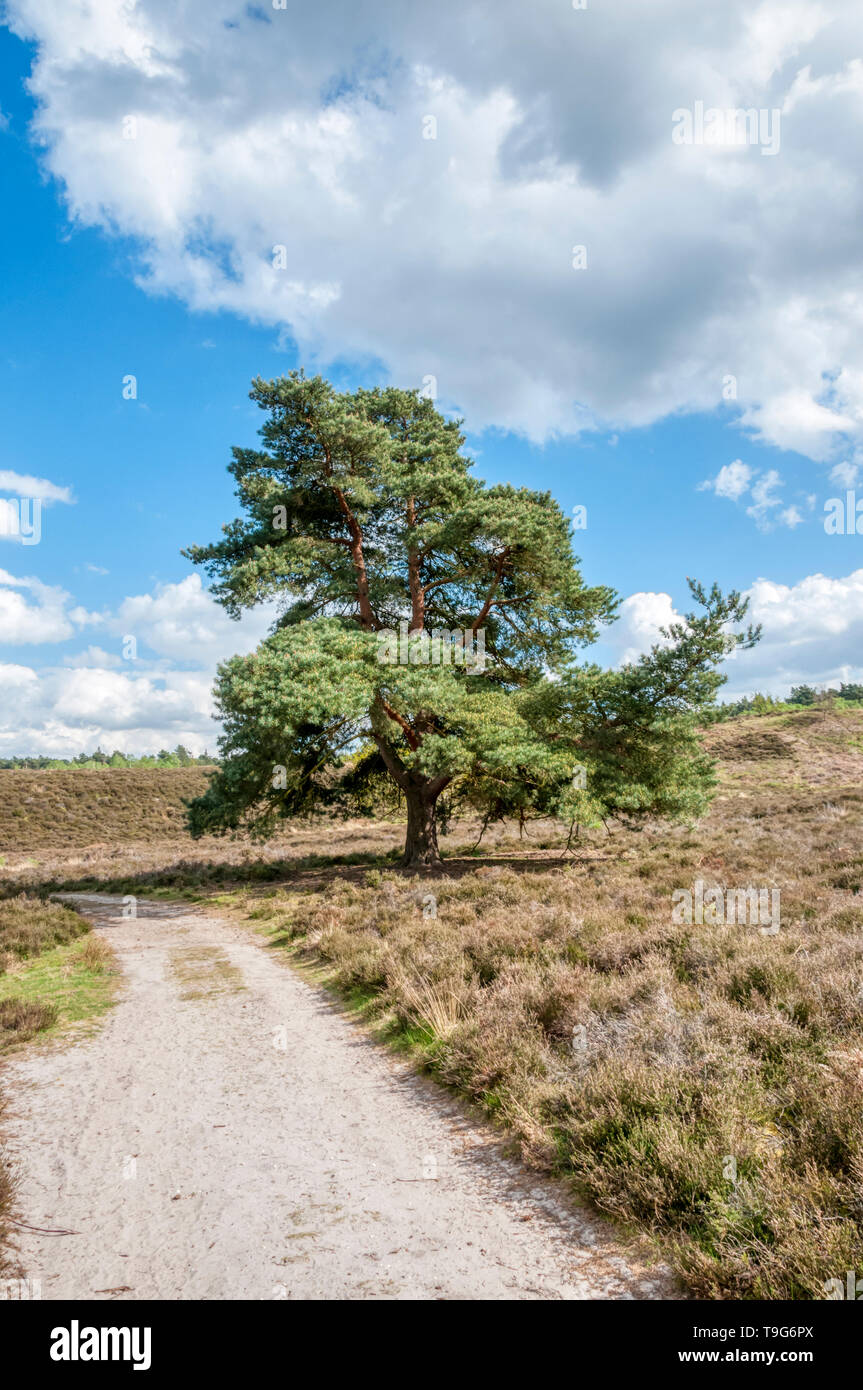 Scots pine, Pinus sylvestris, in Dersingham Bog, Norfolk.  It is the largest remaining example of acid valley mire habitat in East Anglia. - Stock Image