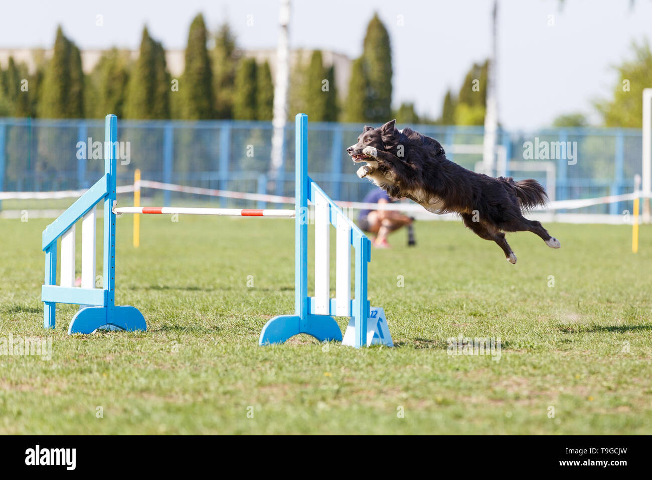 Border collie jumping over hurdle in agility competition - Stock Image