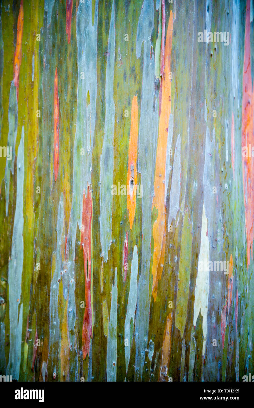 Abstract full frame background of the colorful peeling bark of a rainbow eucalyptus tree - Stock Image