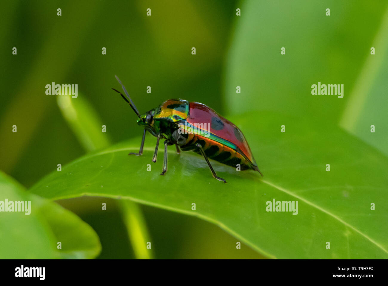 Jewel Beetle on Flinders Island, Far North Queensland - Stock Image