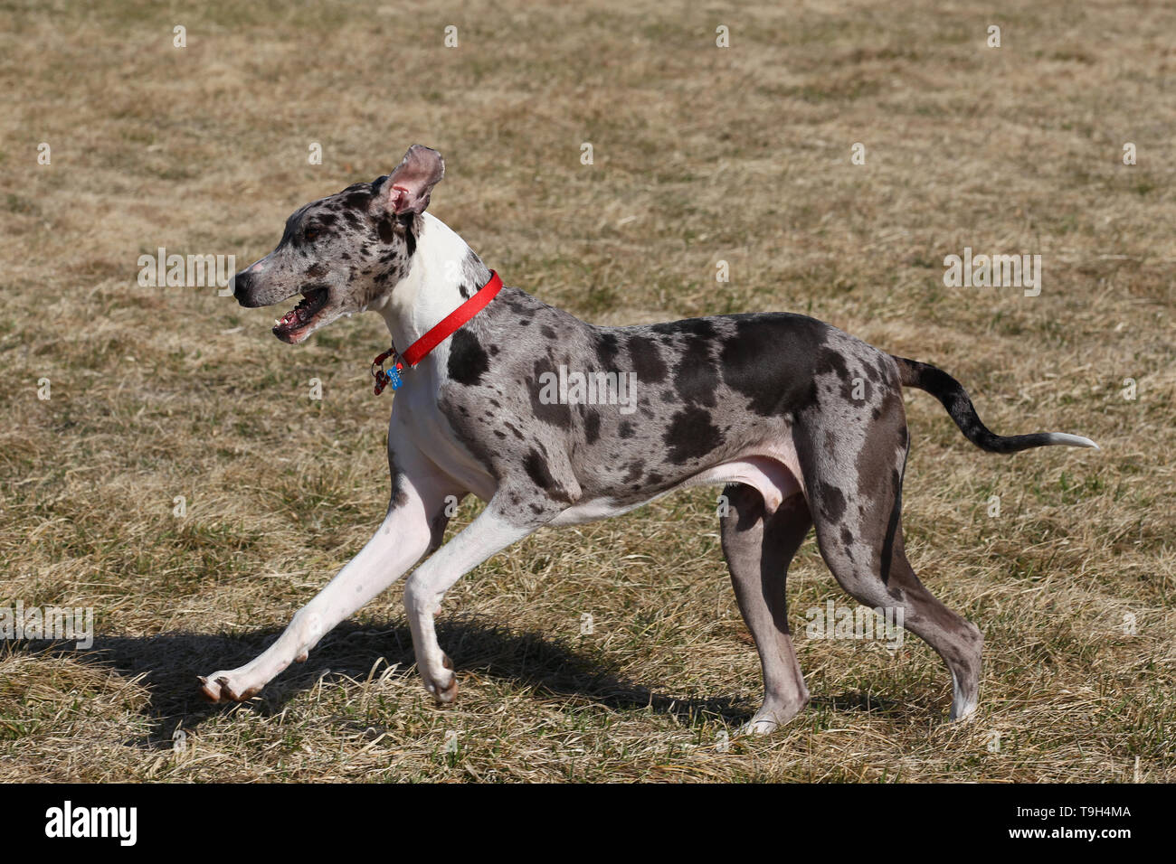 GREAT DANE - Stock Image