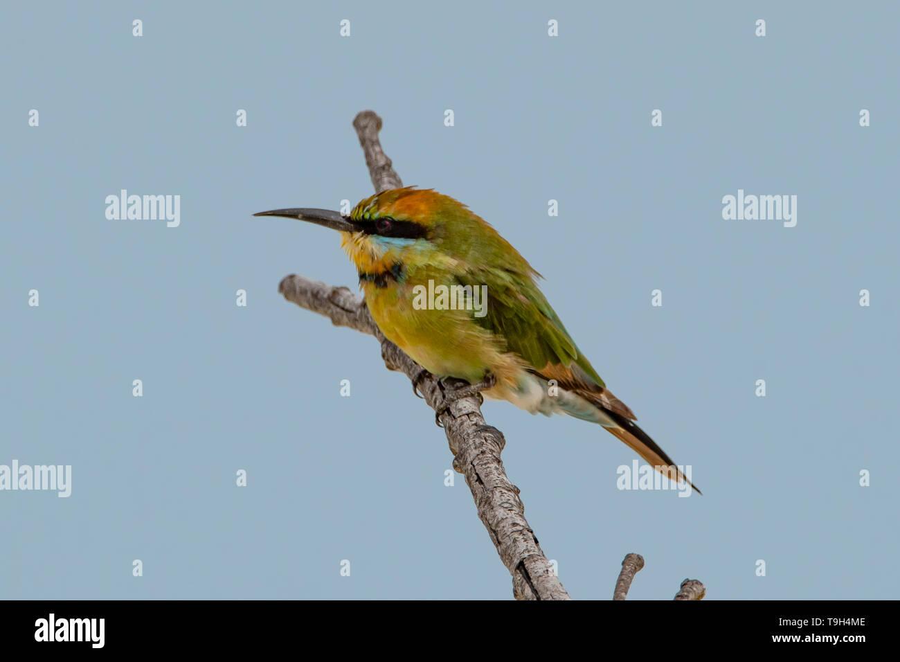 Rainbow Bee-eater, Merops ornatus on Lizard Island, Queensland - Stock Image