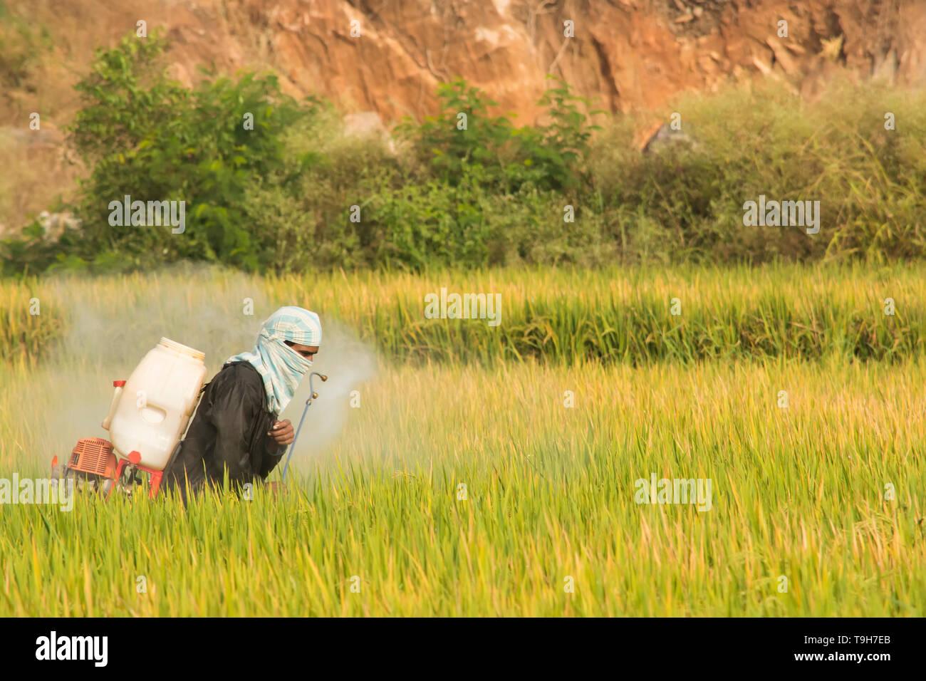 Maski,Karnataka,India - December 2,2017 Farmer spraying pesticide in paddy field - Stock Image