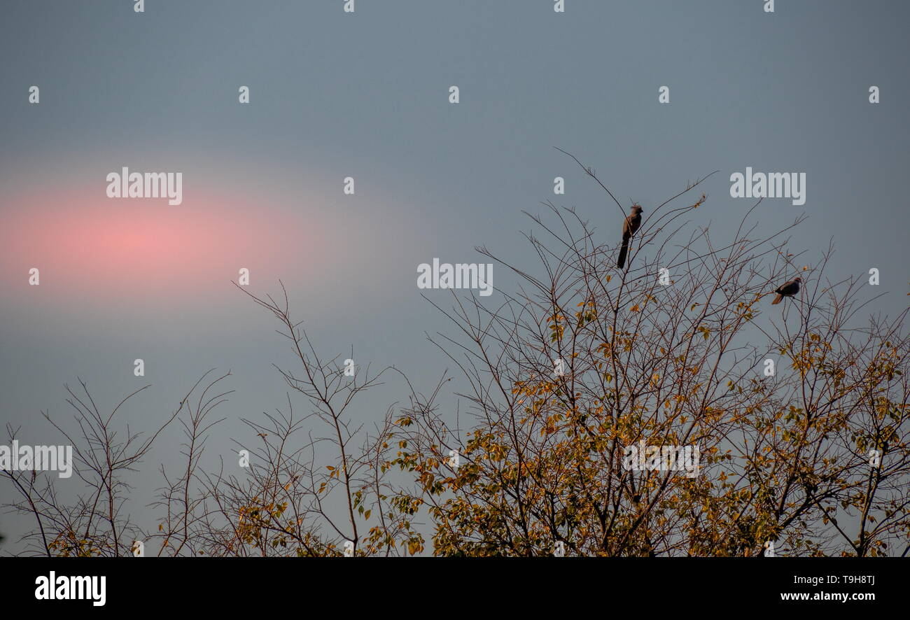 Two birds isolated in the top of a tree with autumn leaves against a blue sky with a setting sun image with copy space in landscape format - Stock Image
