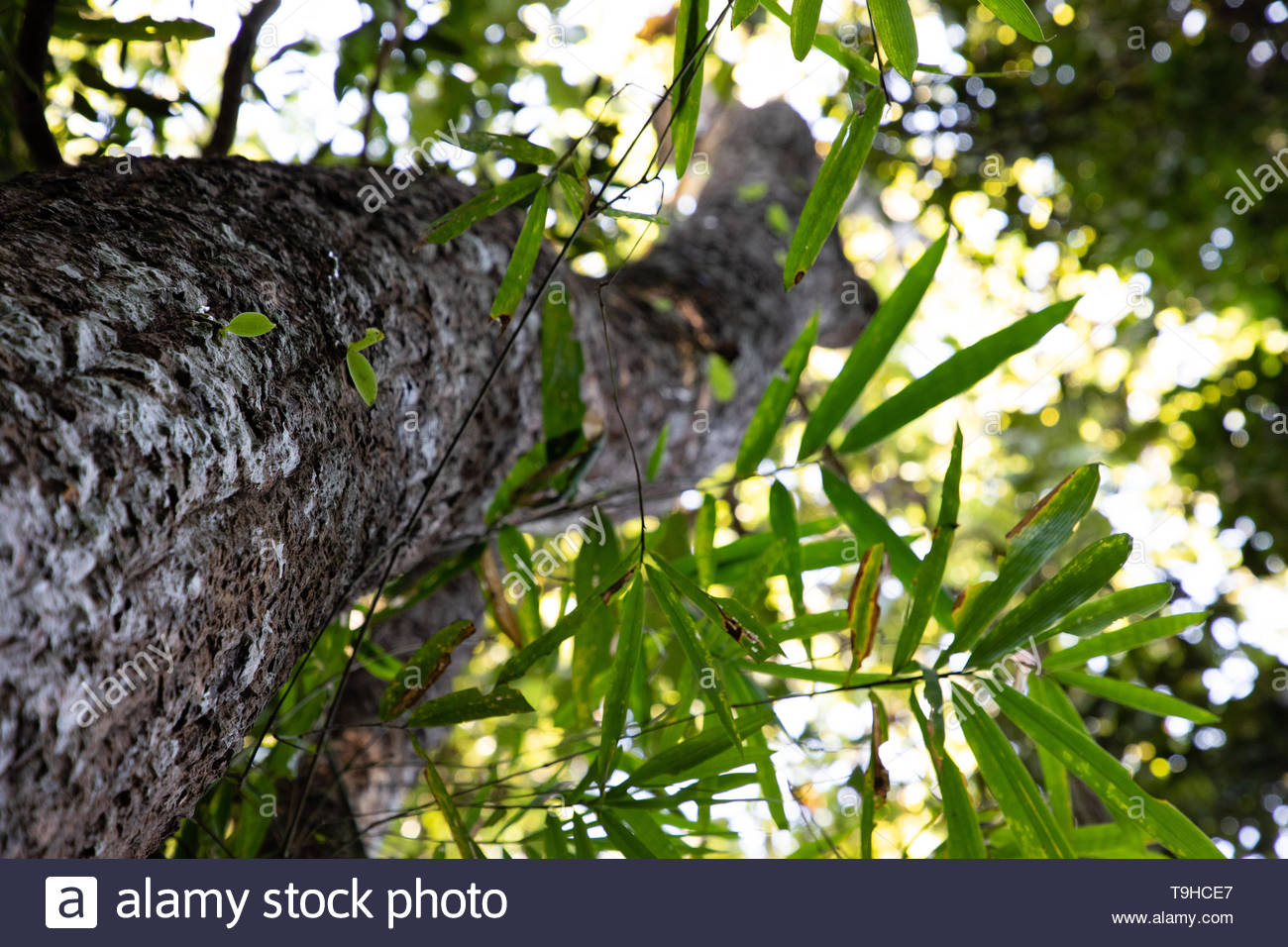 Tree trunk view from below with blurred perspective in Thailand - Stock Image